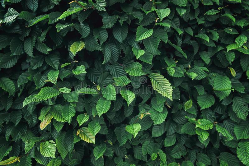 Natural Plant Leaves and Evergreen Tree Background, Green Leaf Plantation Texture, Abstract Pattern and Decoration Concept royalty free stock image