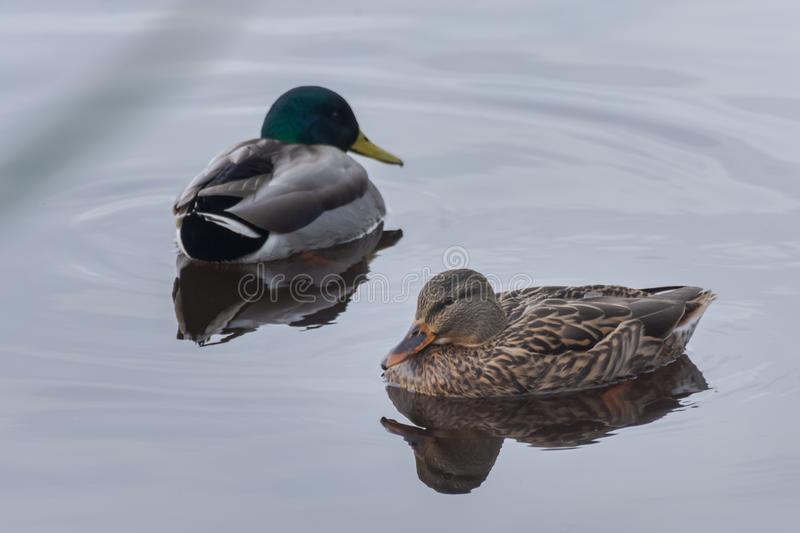 Natural portrait of a female and a male mallard anas platyrhynchos in the natural park of Albufera, Valencia, Spain. Water. Reflection stock images
