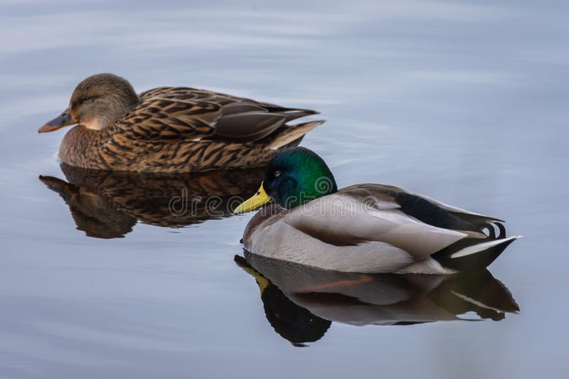 Natural portrait of a male and a female mallard anas platyrhynchos reflect on the water in the natural park of Albufera, stock images