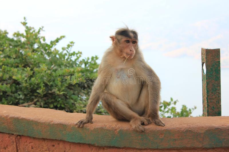 A natural posture of an indian monkey royalty free stock photography