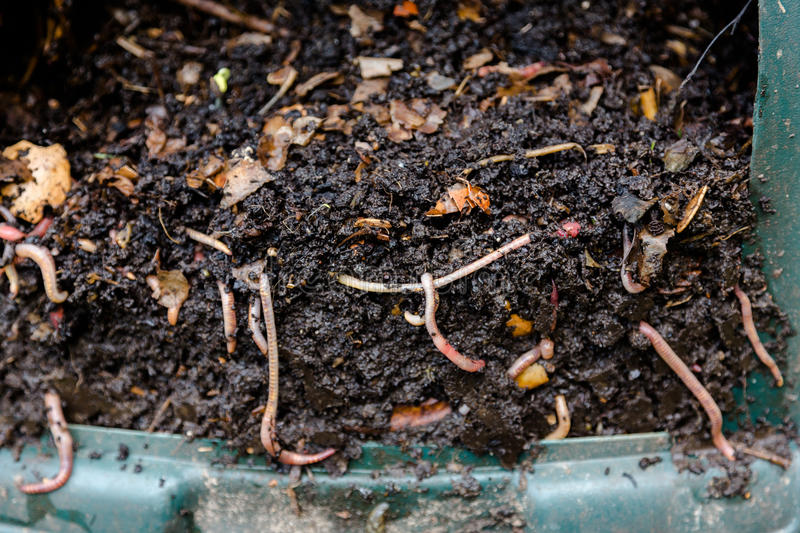 Natural, processed homemade compost in a plastic barrel. With visible earthworms and the remains of waste. Horizontal full frame composition stock image
