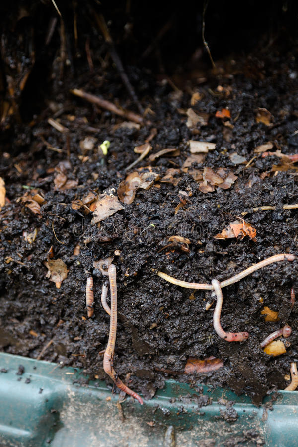 Natural, processed homemade compost in a plastic barrel. With visible earthworms and the remains of waste. Vertical full frame composition royalty free stock images