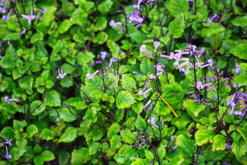 Natural purple Primula wildflowers, flowering plants, Primrose flowers in ornamental garden background. Blooming flowers appear in stock image