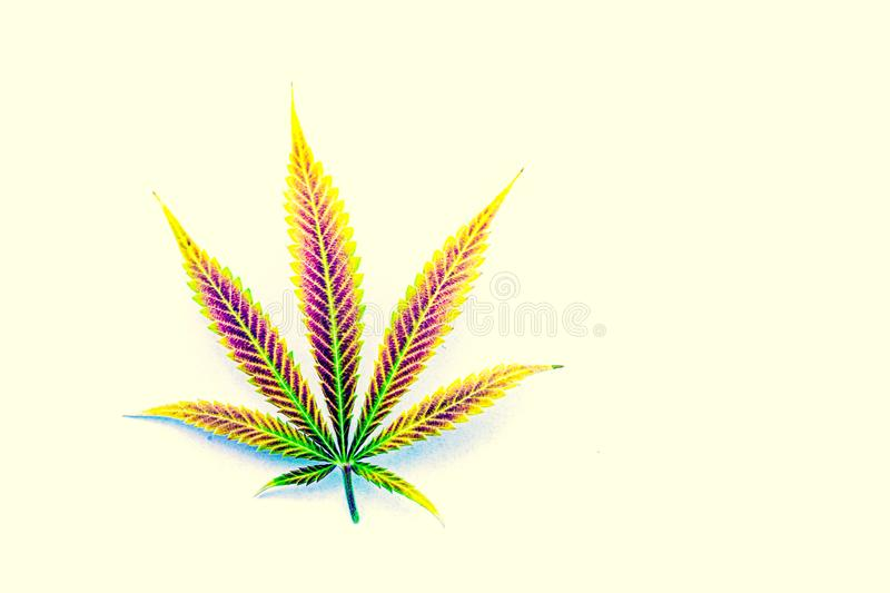 Natural rainbow mature cannabis, pot, marijuana leaf royalty free stock photography