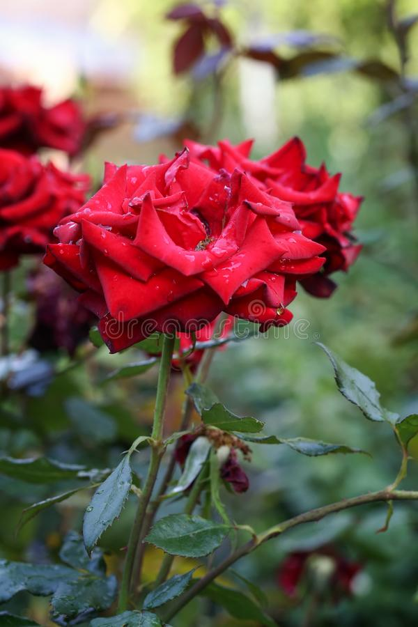 Wild red rose with dew drops in the garden. Natural red blooming rose with dew drops in the garden. Rose in the wild stock photos