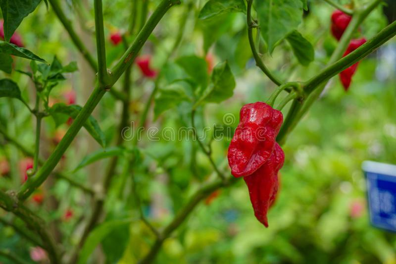 Natural Red chili Pepper with green background. Chilli is a fruit which belongs to Capsicum genus stock images