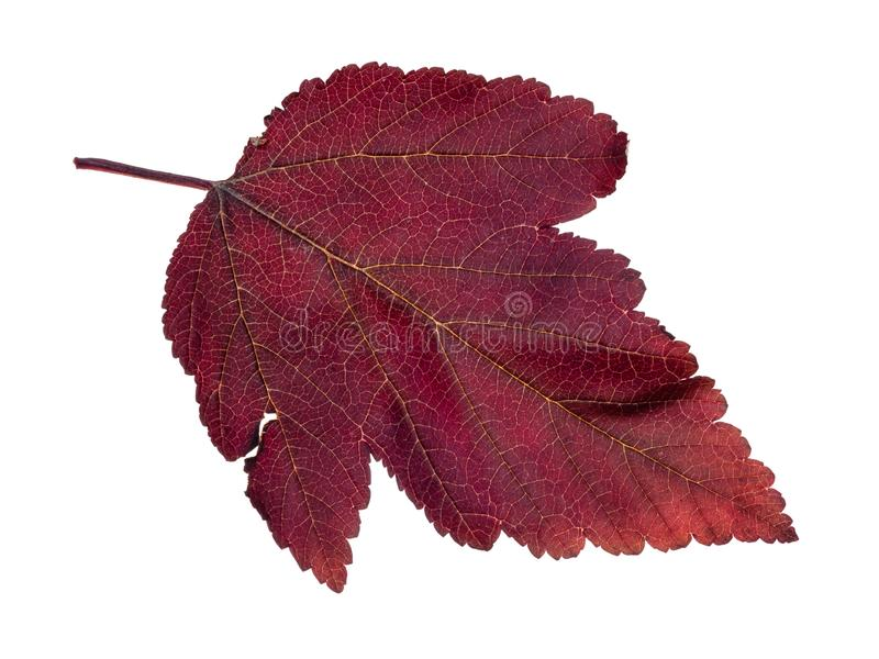 Natural red leaf of ninebark (physocarpus) shrub. Cutout on white background stock photos