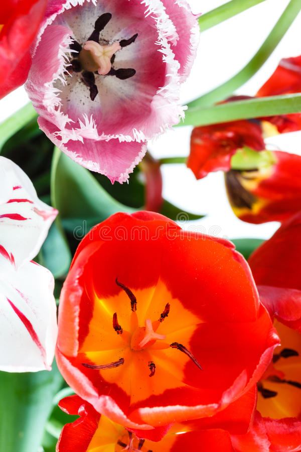 Natural red, white, pink tulip flowers in bouquet stock photography