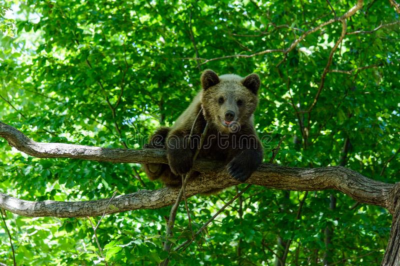 Bears in a forest from Zarnesti natural reserve, near Brasov, Transylvania, Romania stock images