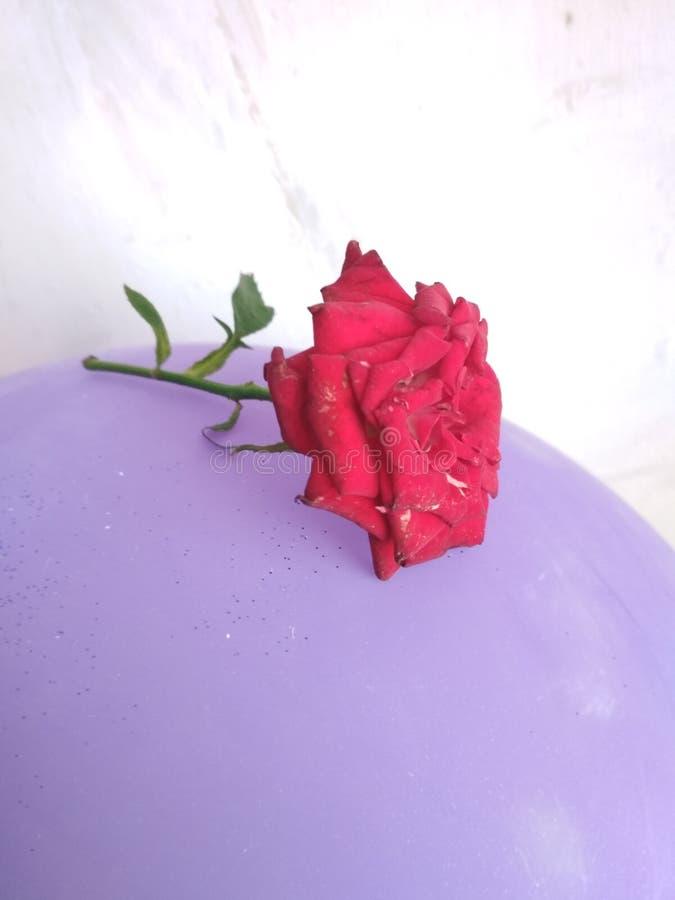 Natural rose royalty free stock photos