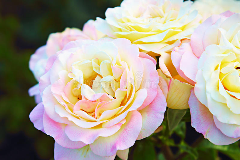 Natural roses in summer garden royalty free stock photo