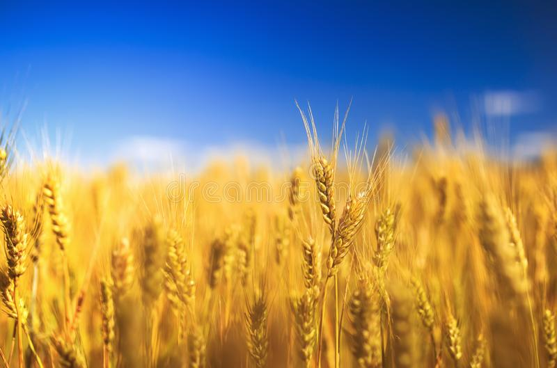 Natural rural landscape with a field of Golden wheat ears against a blue clear sky matured on a warm summer Sunny day royalty free stock photo