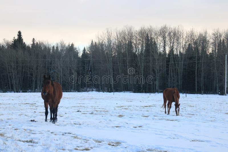 Winter snow landscapes horses royalty free stock images