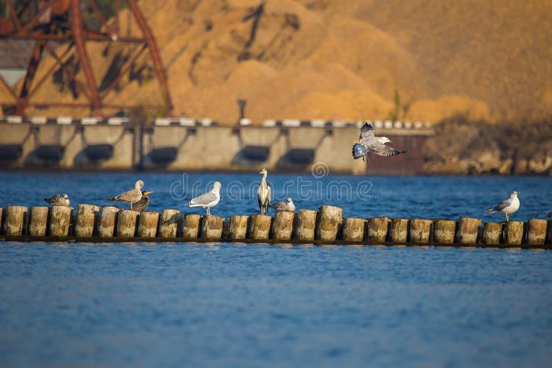A natural scenery of sea birds sitting on an old breakwater poles. In the city harbor in Riga, Latvia stock image