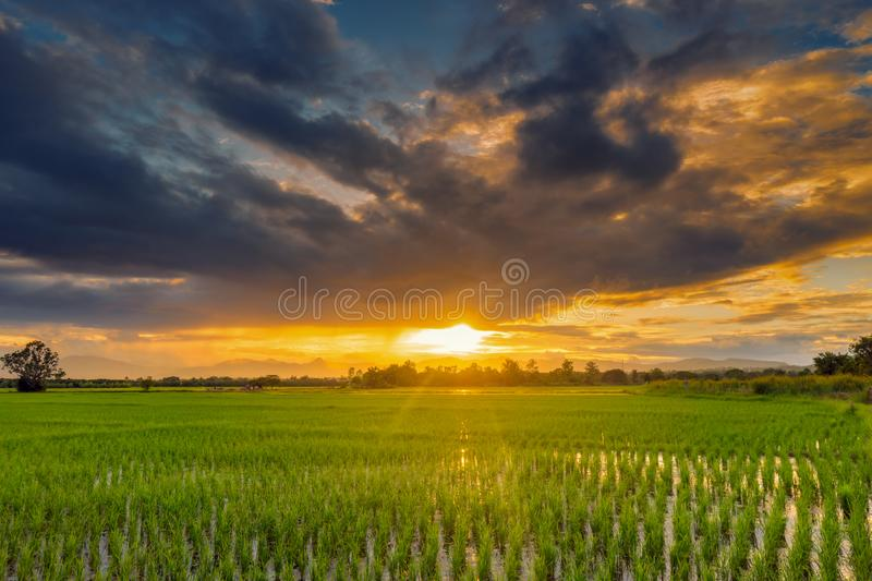 Natural scenic beautiful sunset and rice field agricultural background royalty free stock photography