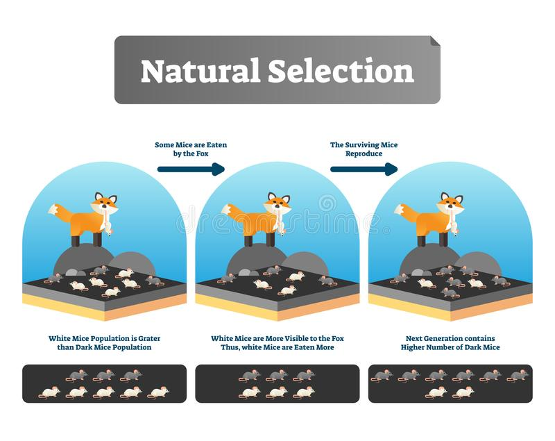 Natural selection vector illustration. Explained scheme with life evolution stock illustration