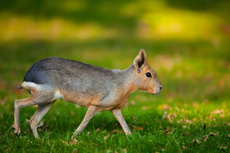 Natural shot of Patagonian Mara animal Dolichotis patagonum with nice blurry sunny background. Natural shot of Patagonian Mara animal with nice blurry sunny stock image