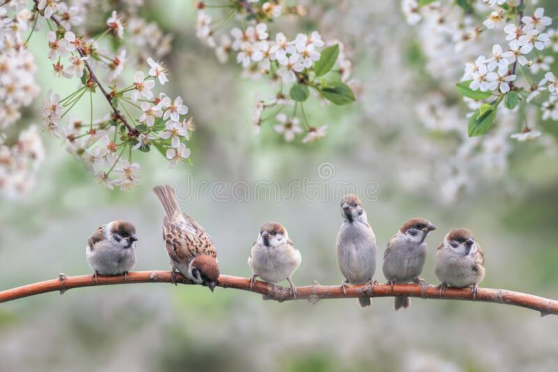 Natural background with small birds on a branch white cherry blossoms in the may garden. Natural with small birds on a branch white cherry blossoms in the may royalty free stock photography