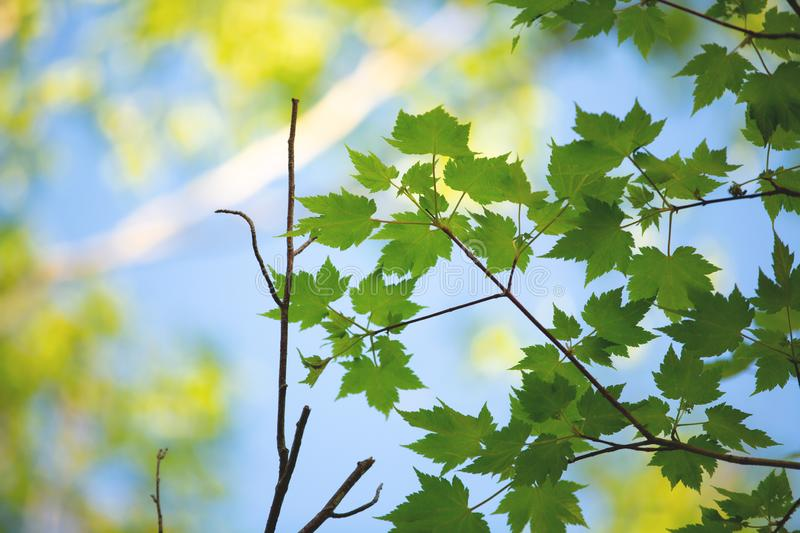 Natural spring background. Bright young leaves of maple tree against blue sky royalty free stock photography