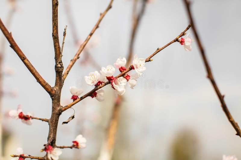 Close up new fresh apricot flowers in spring time in Orchard in selective focus. Natural spring background. Close up new fresh apricot flowers in spring time in royalty free stock photography