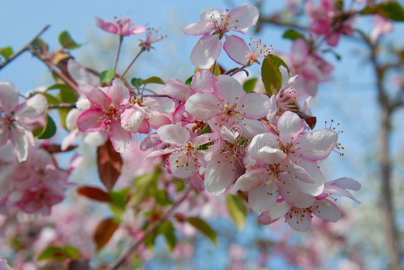 Natural Spring Cherry Blossoms, pink flowers over Blue Sky. Summer Garden. Botanical Garden. Chisinau, Republic of Moldova. royalty free stock photos