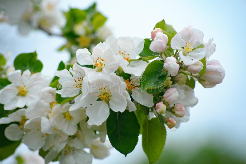 Natural spring flower landscape with spring white apple flowers, closeup of spring apple tree in blossom royalty free stock image