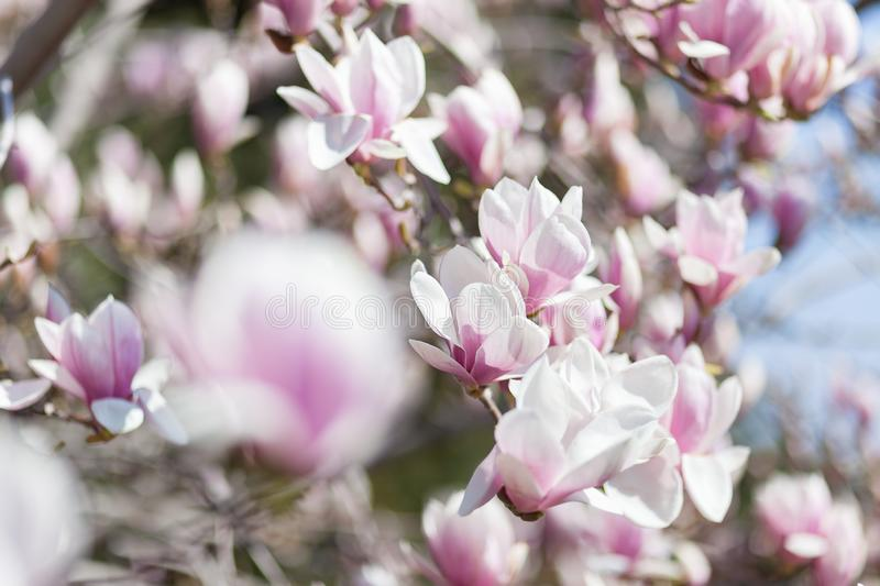 Natural spring flower, many blooming beauty flowers stock photo