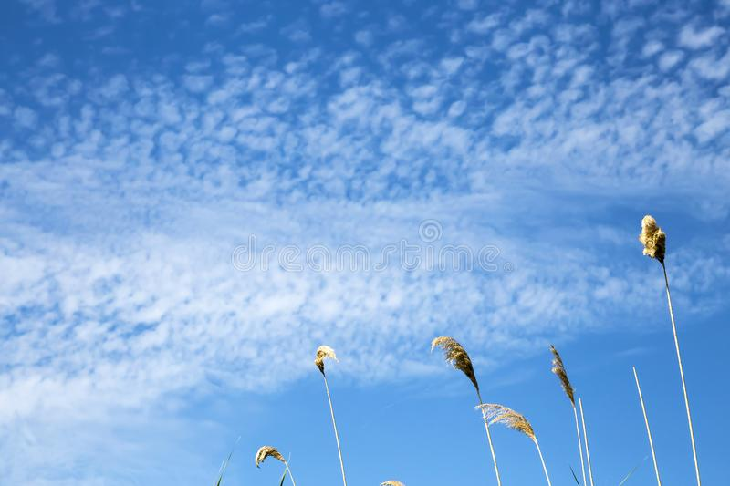 Natural summer background with copy space, heavenly landscape. Branches of reeds against the background of bright blue sky with royalty free stock photos