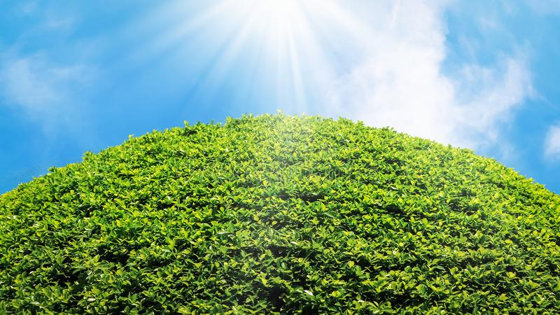 Natural summer fresh bright background. Lush green foliage against the blue sky with clouds and sun rays. Free space for text. stock image