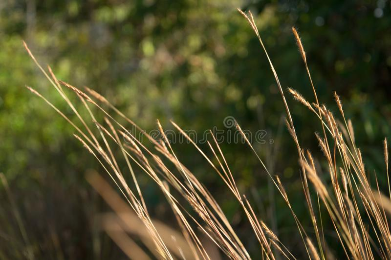 Natural summer green grass,ears of golden wheat background with wild meadow dry grass in the rays of sunset, in the royalty free stock photos