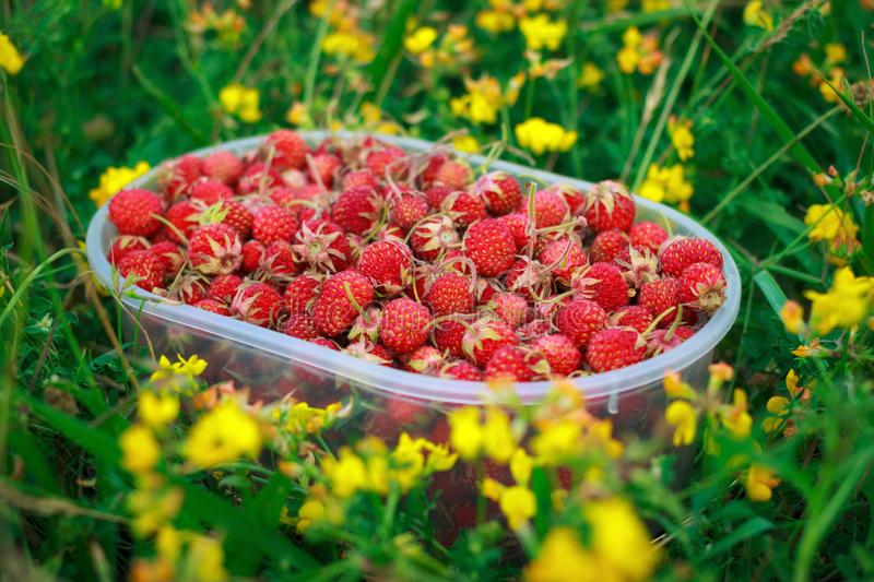 Natural sweet red wild strawberry in container, harvested in field or meadow grass, selective focus stock photos