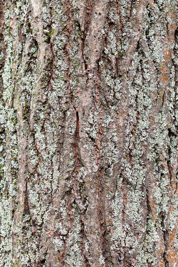 Rough bark on mature trunk of willow tree close up stock photos