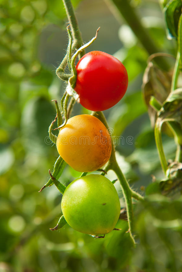 Natural traffic lights. Branch with three tomatoes. One is ripe already, the second is ripening and the third is still unripe stock photos