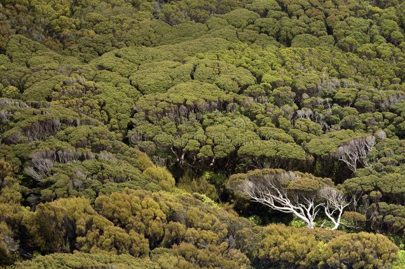 Natural trees on the Auckland Islands, New Zealand. Natural habitat on the Auckland Islands, New Zealand royalty free stock images