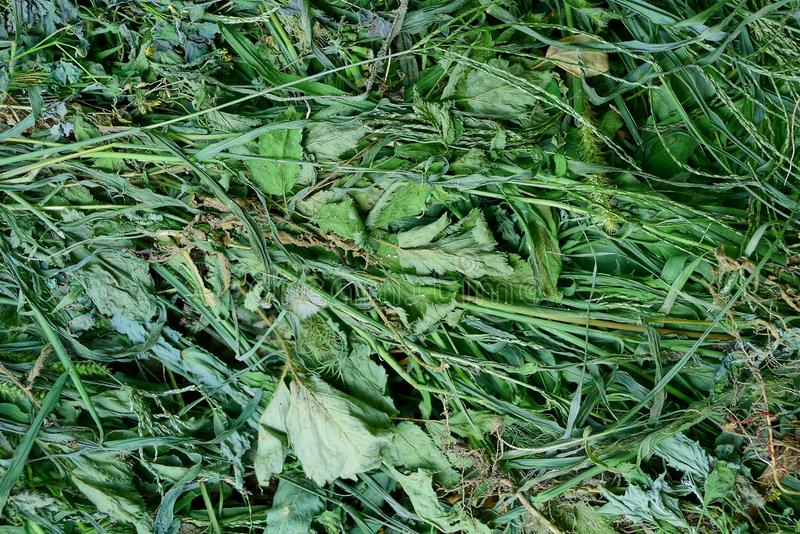 Natural vegetative texture from beveled green and dry grass. Natural vegetative background of beveled green and dry grass in a heap stock photo