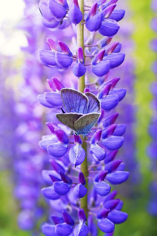 Natural vertical background with beautiful blue butterfly sitting in summer garden on bright lilac , purple and pink lupine stock images