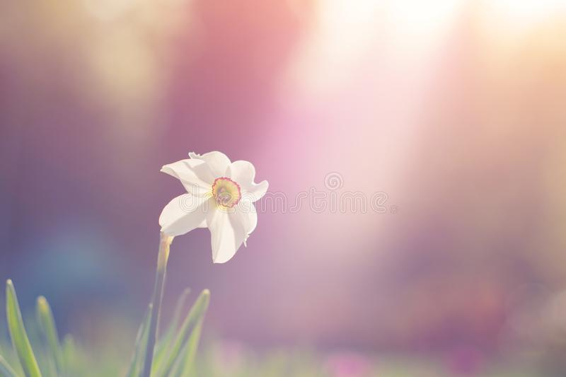 Natural view of daffodil flower bloom in garden with green grass as nature background.  stock photography
