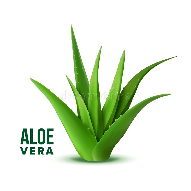 Natural Vitamin Healthy Plant Aloe Vera Vector. Realistic Medicine Botanic Herbal Green Plant With Thorn Leaves For Skincare Dermatology Cosmetic, Lotion Or royalty free illustration