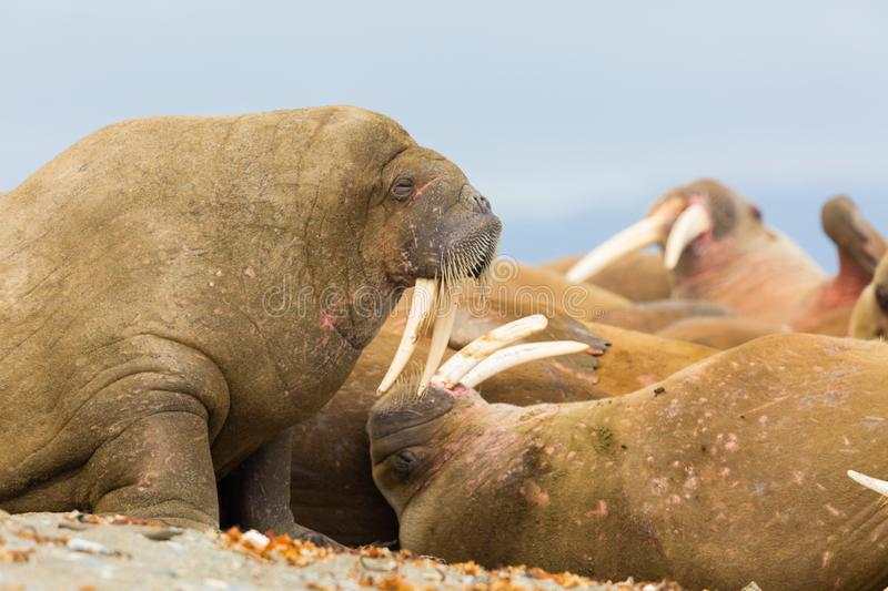 Natural walruses odobenus rosmarus lying on sandy beach stock photo