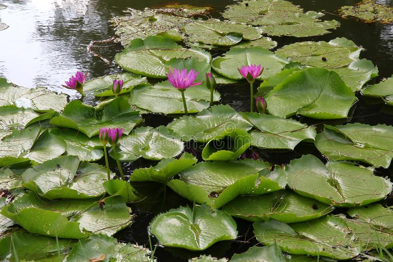 Natural Water Lily Flowers. Color Picture and Image. Summer royalty free stock photos