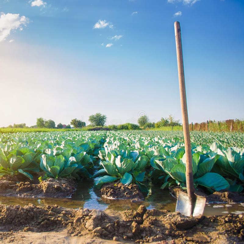 Natural watering of agricultural crops, irrigation. cabbage plantations grow in the field. vegetable rows. farming agriculture. Selective focus stock images
