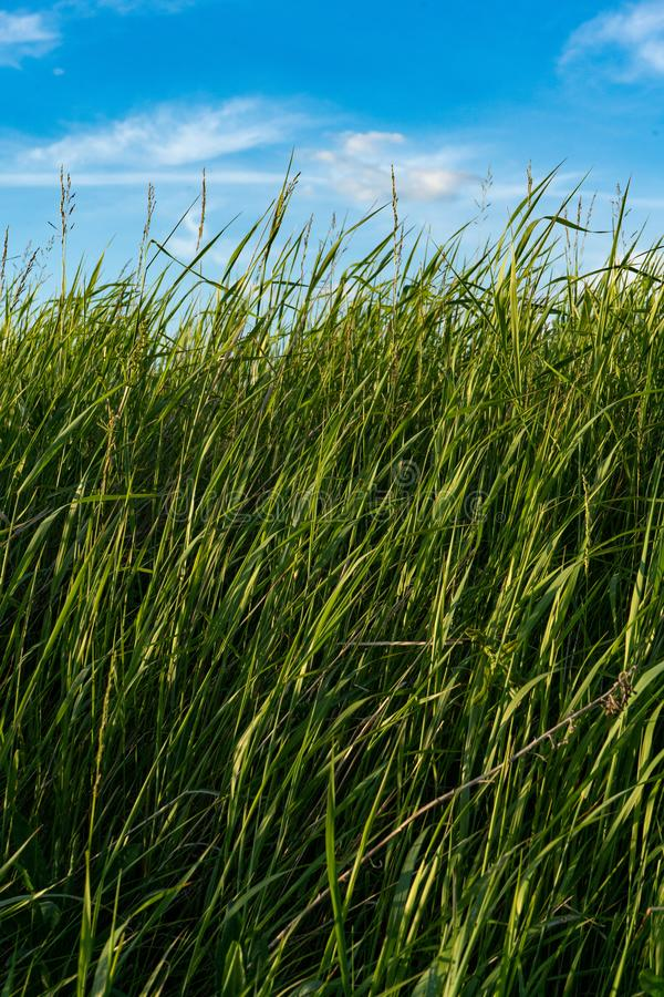 Natural wild green grass and blue sky with clouds.  royalty free stock images