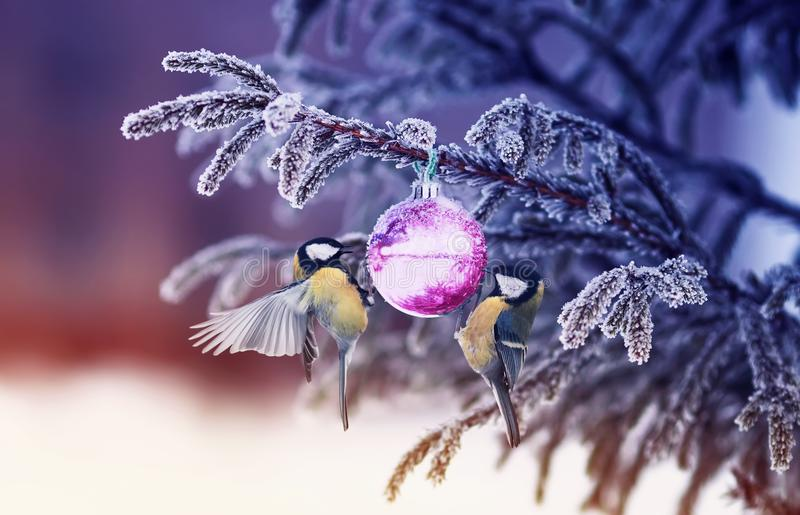 Natural winter background with beautiful birds tits hang on a sh. Iny glass ball on a Christmas tree with shiny hoarfrost in the park stock image