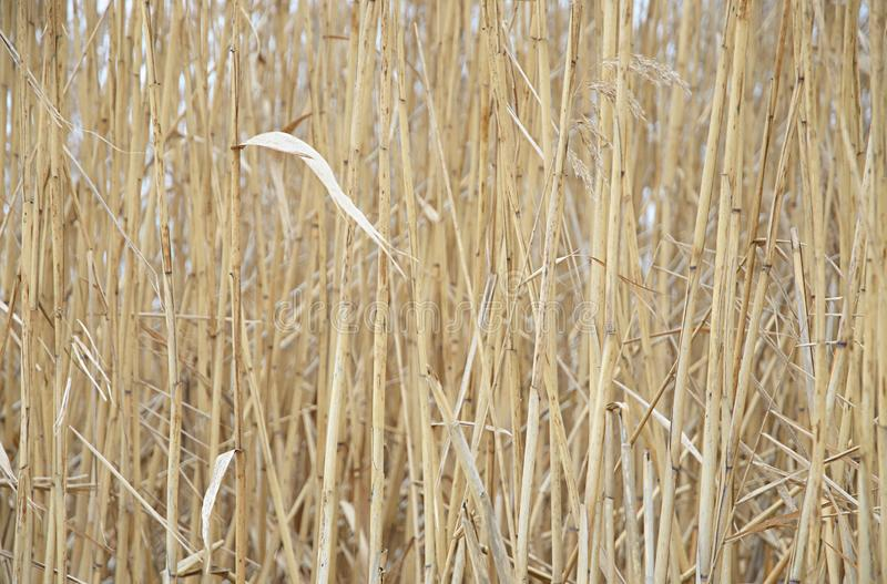 Natural yellow background of stalks of dry cane royalty free stock photos