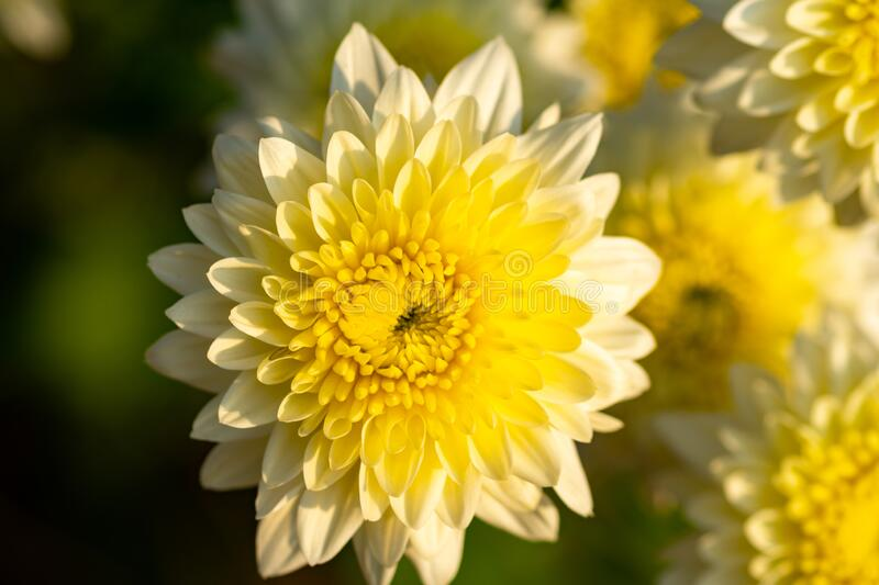 Natural yellow chrysanthemum flowers in blooming.Autumn flowers in the garden.  stock photo
