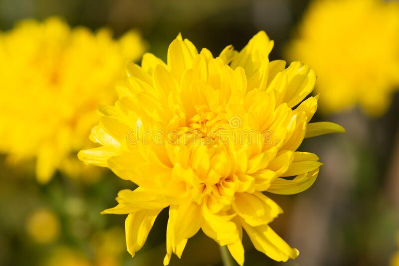 Natural yellow chrysanthemum flowers in blooming.Autumn flowers in the garden.  royalty free stock photography