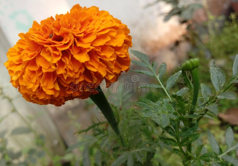 Marigold is on mood royalty free stock image