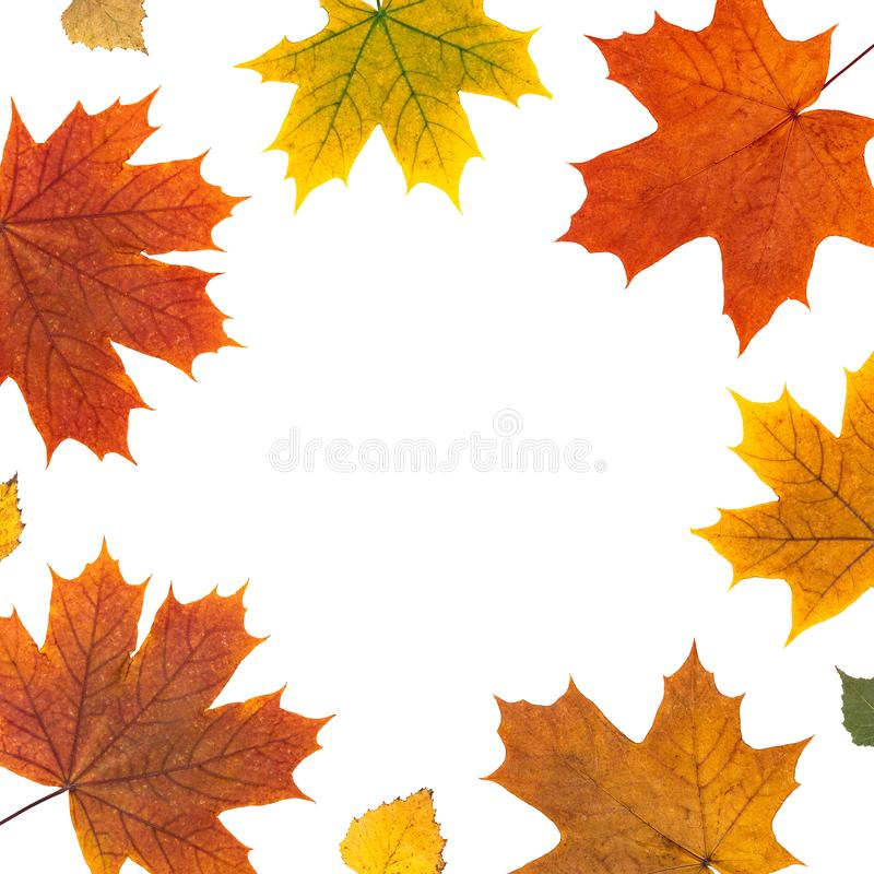 natural yellow, red flat layout. frame of autumn orange maple leaves on white background. maple leaf border. top flatlay stock image