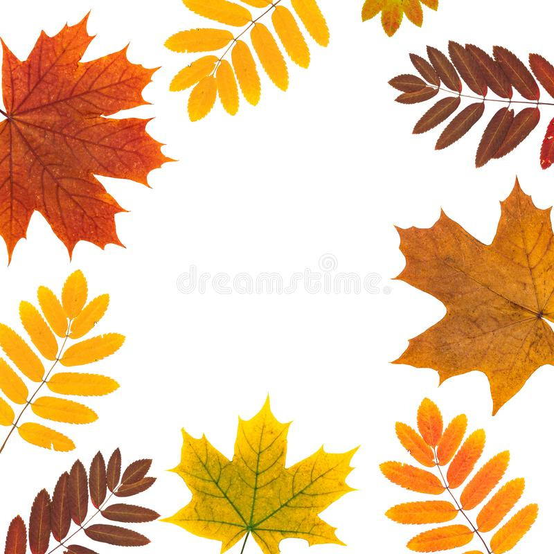 yellow, red flat. frame of autumn orange rowan, maple leaves on white. rowanberry, maple leaf border. top view, flatlay stock photography
