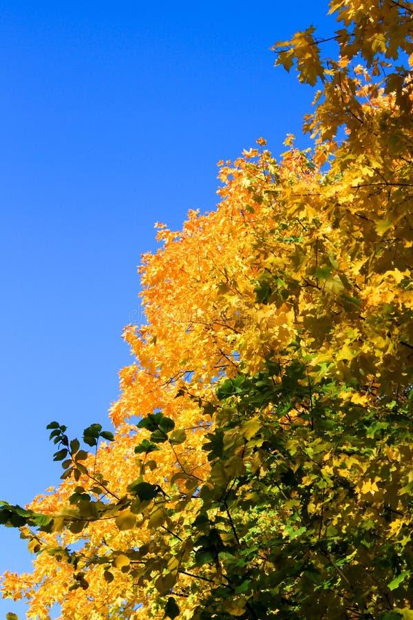 Naturaleza amarillo-naranja del cielo azul de las hojas de arce del otoño imagen de archivo